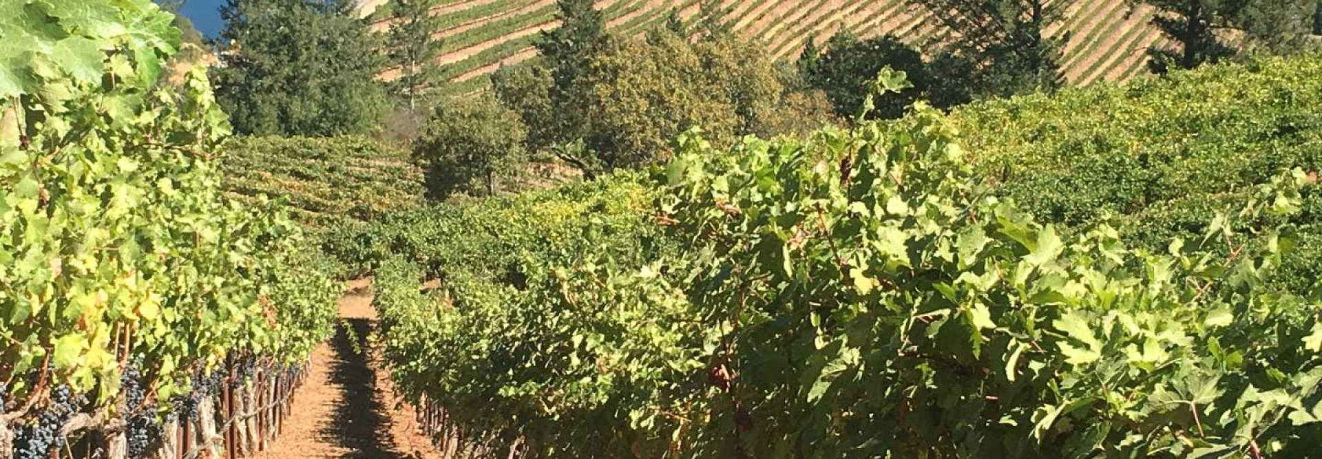 Vineyard Hill Vines at Immortal Estate, an Evolution of Hidden Ridge
